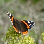 phoca thumb s 002 red admiral butterfly